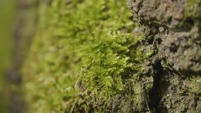 I vecchi alberi con il lichene ed il muschio in natura degli alberi forestali della foresta si inverdiscono il legno Muschio sull Immagini Stock