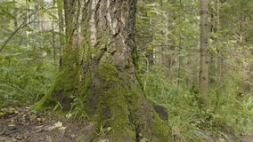 I vecchi alberi con il lichene ed il muschio in natura degli alberi forestali della foresta si inverdiscono il legno Muschio sull Fotografia Stock