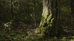 I vecchi alberi con il lichene ed il muschio in natura degli alberi forestali della foresta si inverdiscono il legno Muschio sull Immagine Stock
