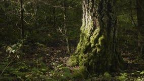 I vecchi alberi con il lichene ed il muschio in natura degli alberi forestali della foresta si inverdiscono il legno Muschio sull Immagini Stock Libere da Diritti