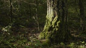 I vecchi alberi con il lichene ed il muschio in natura degli alberi forestali della foresta si inverdiscono il legno Muschio sull Fotografie Stock