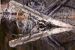 I vecchi alberi esposti all'aria rispecchiati sull'acqua calma emergono fotografia stock libera da diritti