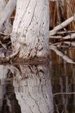 I vecchi alberi esposti all'aria rispecchiati sull'acqua calma emergono immagine stock