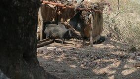 I verri neri bevono l'acqua sporca da un bevitore di legno Capanna nelle giungle dell'India archivi video
