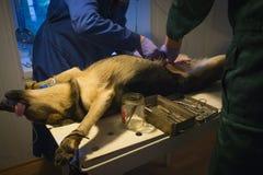 I veterinari di medici azionano sopra un cane Fotografia Stock Libera da Diritti