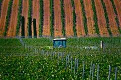 I vingårdarna i Grekland royaltyfri bild