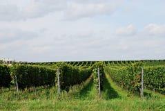 I vingården Royaltyfri Fotografi
