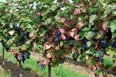 I vingården Royaltyfria Bilder