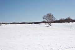 I vinter finns det snö på grässlätten med silverbjörkskogen Arkivfoto