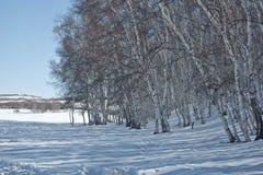 I vinter finns det snö på grässlätten med silverbjörkskogen Royaltyfri Fotografi