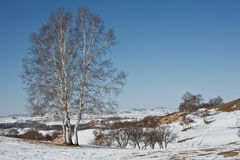 I vinter finns det snö på grässlätten med silverbjörkträd Arkivbild