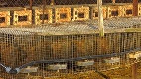 I visoni europei sono contenuti in cellule specialmente fornite Allevamento industriale degli animali da pelliccia archivi video