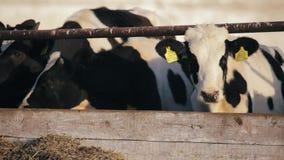 I vitelli delle mucche mangiano l'alimento verde sull'azienda agricola archivi video