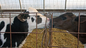 I vitelli in primo luogo baciano fotografia stock