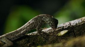 I volans del draco, la lucertola di volata comune, è specie di endemico della lucertola a Sud-est asiatico Lucertola in selvaggio fotografia stock