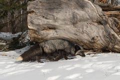 I vulpes di vulpes di Fox d'argento camminano dopo il ceppo Fotografia Stock