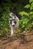 I vulpes di vulpes di Fox del marmo e di Fox d'argento trottano intorno all'angolo Fotografie Stock Libere da Diritti