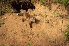 I vulpes di Fox rosso Kit Vulpes camminano giù dalla tana Immagine Stock