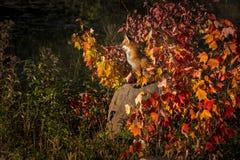 I vulpes di vulpes di Fox rosso si siedono su roccia Fotografie Stock Libere da Diritti