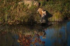 I vulpes di vulpes di Fox rosso stanno su roccia al bordo dell'acqua Fotografia Stock Libera da Diritti