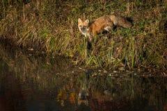 I vulpes di vulpes di Fox rosso stanno su Shoreline Fotografie Stock Libere da Diritti