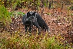 I vulpes di vulpes di Fox d'argento girano e gli sguardi radrizzano Immagine Stock