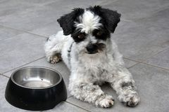 I am waiting! Little dog and empty feeding dish. Always hungry little mongrel dog  sitting next to  his empty feeding dish. He is waiting for  more food Stock Photo