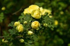 China Rose royalty free stock photography