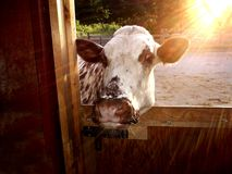 I wanna come in. Cow wanting to get out of the hot sunset royalty free stock photo
