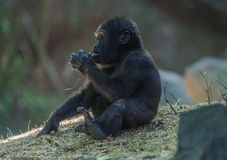 `I want real food!!` - Baby Gorilla Royalty Free Stock Image