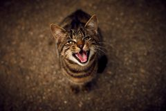I want something to eat. My cat yelling for her food Royalty Free Stock Photography
