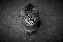 I want something to eat. My cat yelling for her food Stock Images