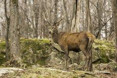 I wapiti di pascolo in una foresta Fotografia Stock Libera da Diritti