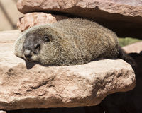 I am warming up!. Groundhog laying in the sun on the rocks Stock Photography