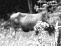 Monocromatic Cow stock photography