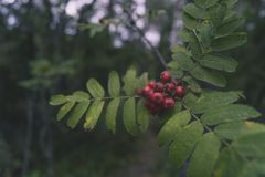 Probably some poisonous berries from a Finnish forest stock image