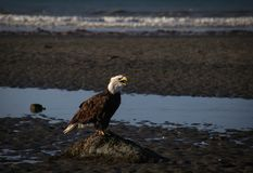 Scruffy bald eagle in Homer, Alaska royalty free stock image