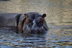 I Am Watching You....So Be Aware of Hippo. A Great Day Out at The Prague Zoon hippopotamus water animal mammal Africa dangerous royalty free stock photo