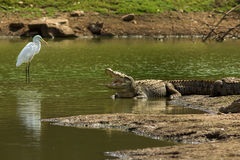 I am watching You. The Cros of Sariska basking & sharing the habitat with other species. Co-existance royalty free stock photos