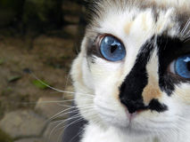 I am watching you. Pretty cat looking for something stock image