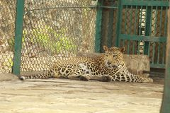 Leopard - Big Cat in SNGP, Mumbai royalty free stock images