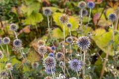 A bunch of wild growing echinops on the Isle of Skye royalty free stock photos