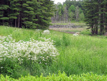 I Wildflowers ed il castoro accumulano, Lenox, mA Fotografie Stock