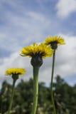 I wildflowers gialli su un'estate sistemano nel giorno soleggiato Fotografia Stock Libera da Diritti