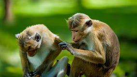 Toque Macaque couple stock image