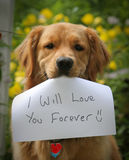I will Love you forever. Gentle Golden Retriever Holding a sentimental sign royalty free stock photography