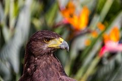 I will not be the first to blink. Beautiful head shot and profile of a Harris Hawk staring off intently into the distance. Scouting for it`s next meal and royalty free stock photos