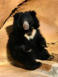 I will Pose. 1 year old Sloth Bear Cub from the zoo Royalty Free Stock Photos