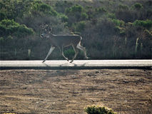 I will run down the road to find a safe place for my family to cross. This male deer is finding a safe place for his lady and their baby to cross the road in Stock Photography