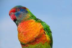 I wonder. A beautiful rainbow lorikeet looking thoughtful Royalty Free Stock Photo